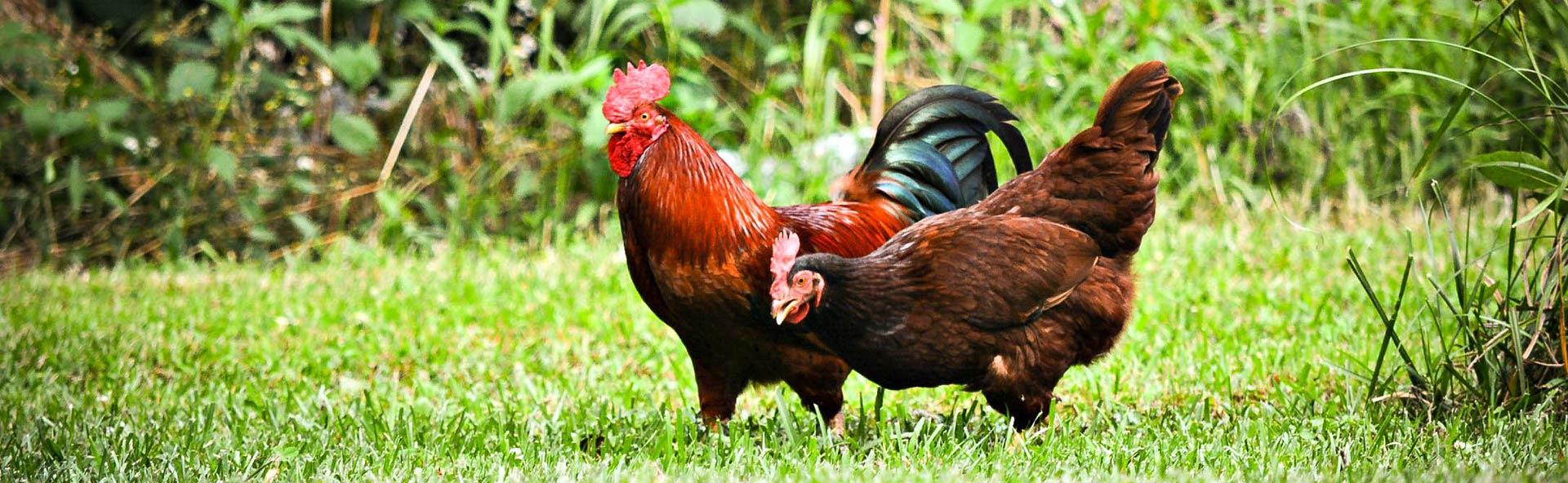 Freilandhühner natürliches Essen mit Peter Gehlmann